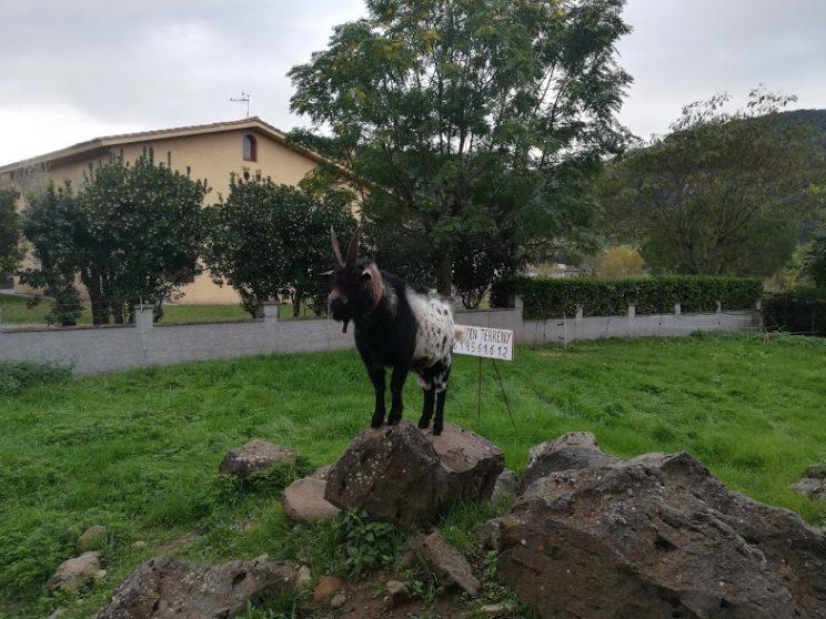 La cabra lletera